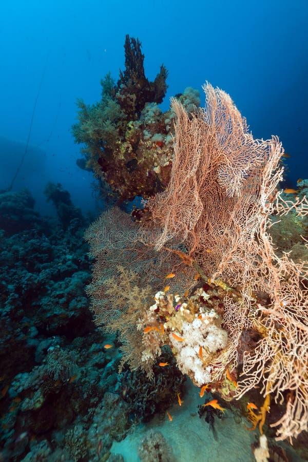 Corail de ventilateur en Mer Rouge. photographie stock