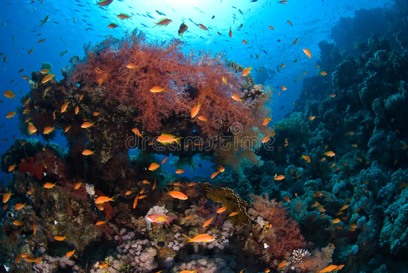 Corail mou photographie stock libre de droits