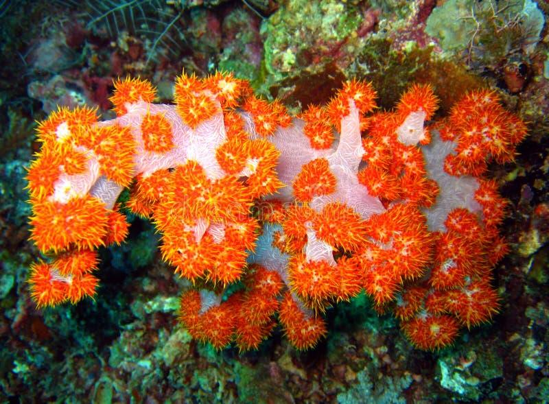 Corail mou d'arbre photos libres de droits