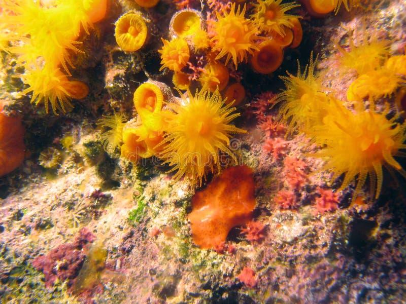 Corail orange d'étoile photos stock