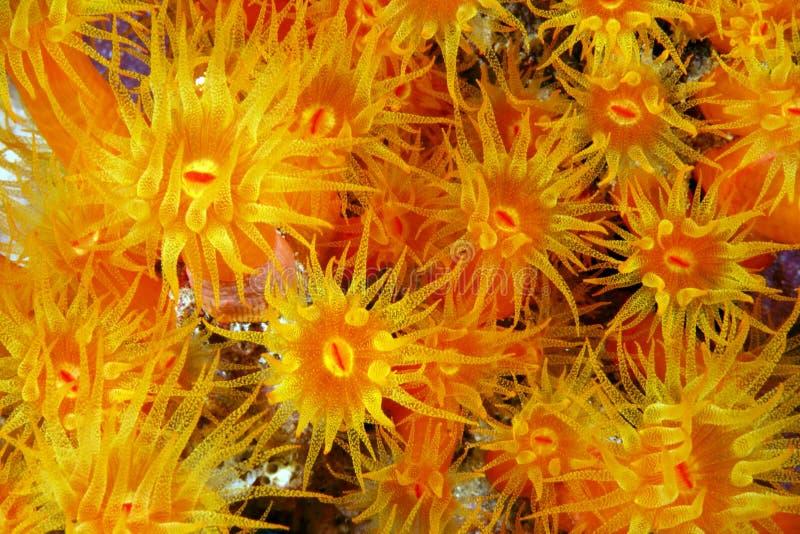 Corail orange de cuvette photo stock