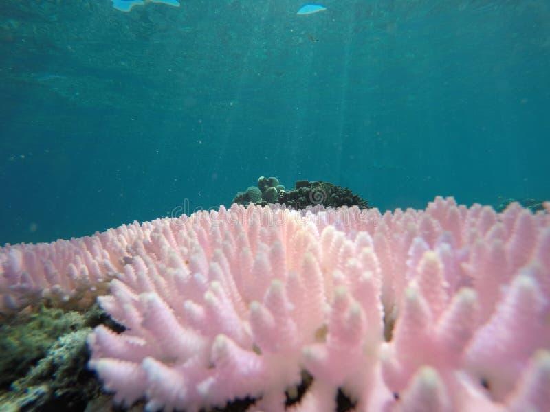 Corail rose photos libres de droits