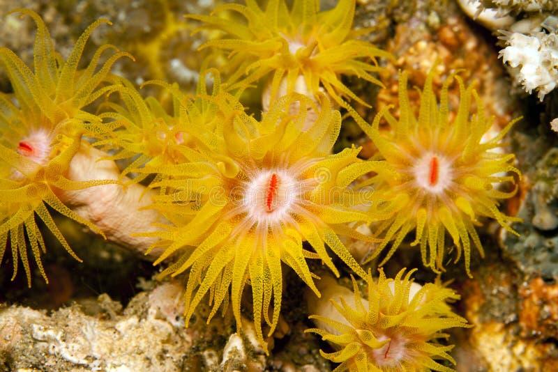 Corais alaranjados do copo fotografia de stock