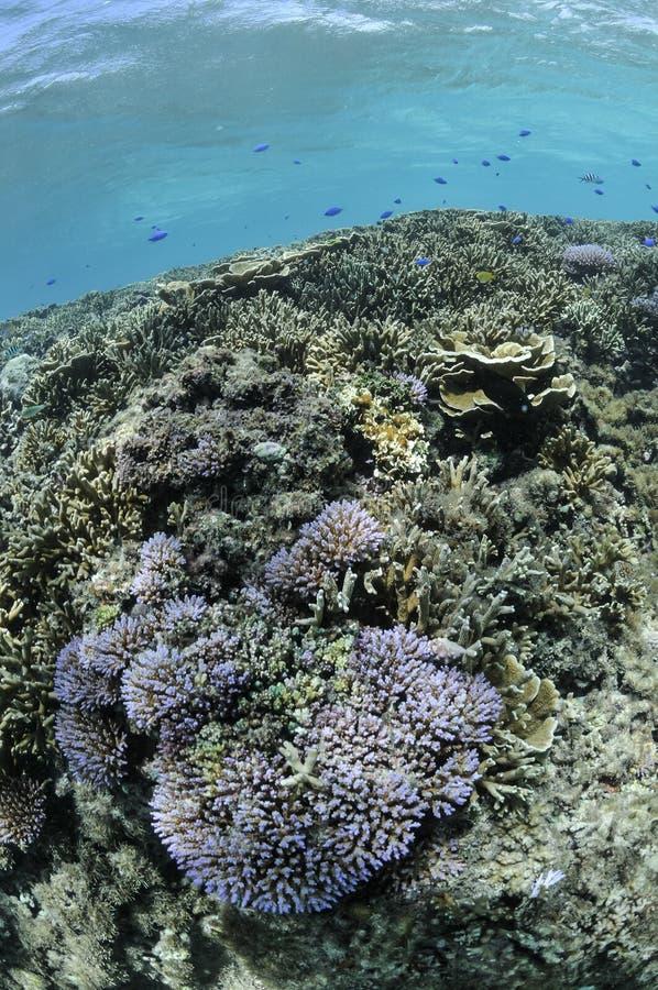 Corais luxúrias que prosperam em águas tropicais foto de stock