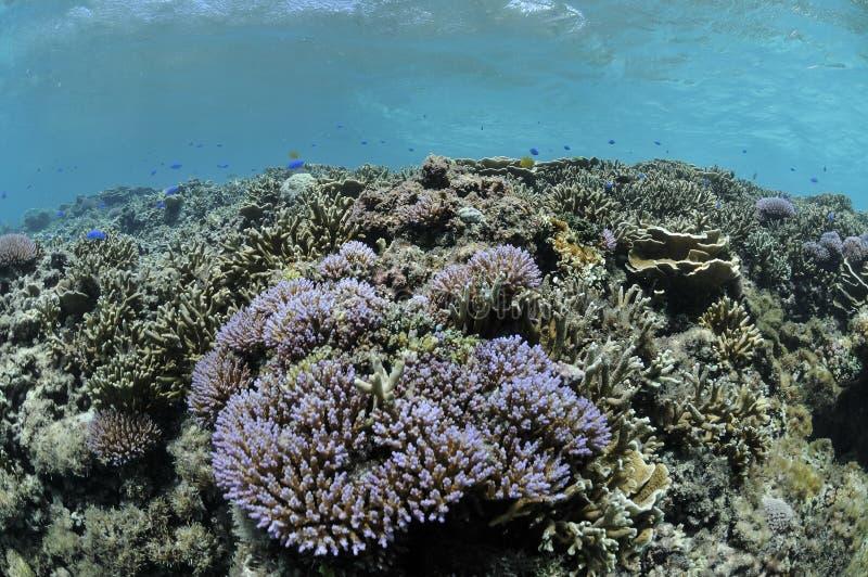Corais luxúrias que prosperam em águas tropicais de Okinawa imagem de stock