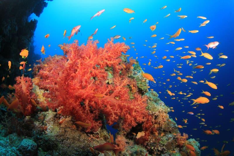 Corais macios coloridos e peixes tropicais fotos de stock royalty free