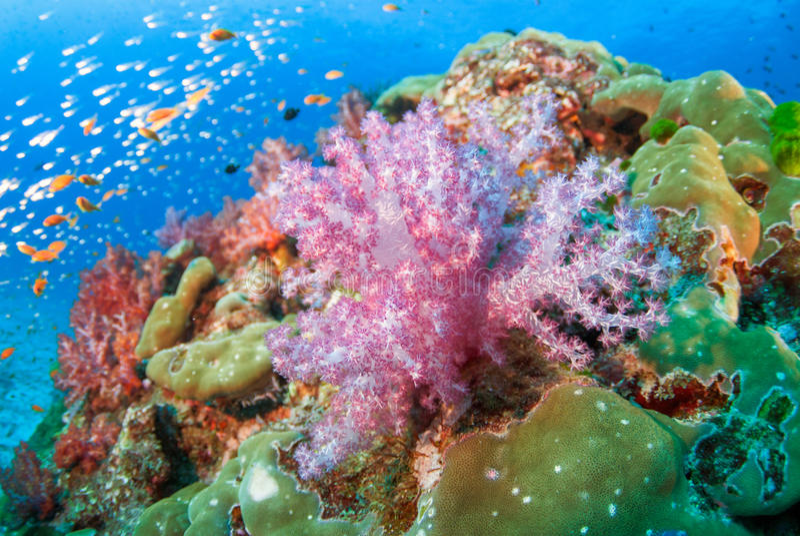 Corais macios coloridos em Andaman norte, Tailândia do sul imagens de stock royalty free
