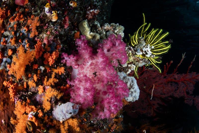Corais macios coloridos em Coral Reef pacífica imagens de stock
