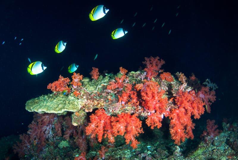 Corais macios em Andaman sul, Krabi, do sul de Tailândia foto de stock