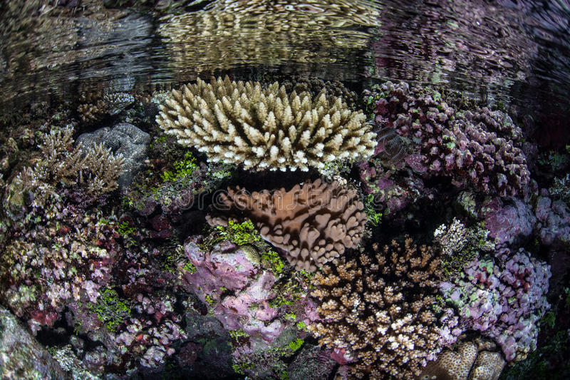 Corais no raso fotografia de stock royalty free