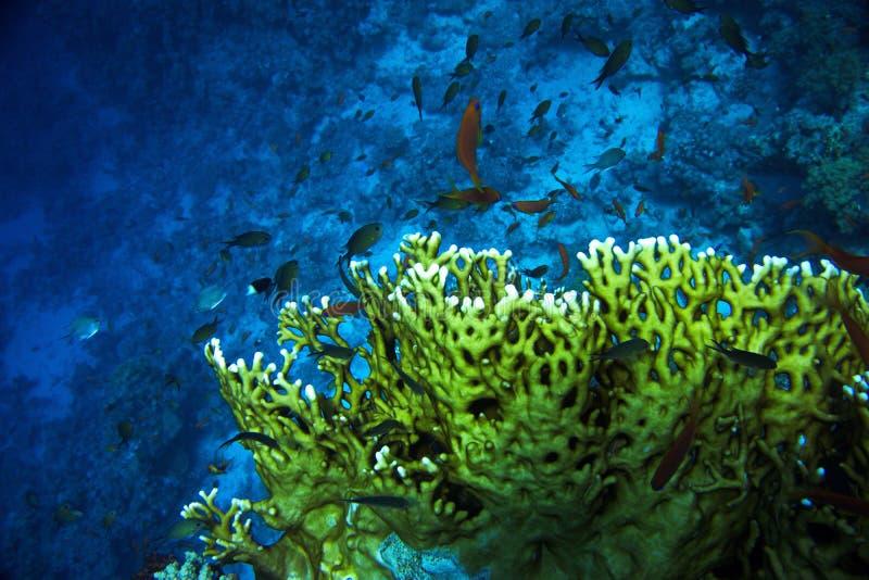 coral fotos de stock