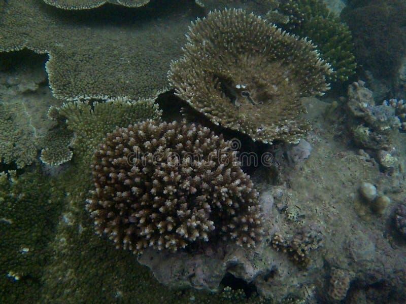 coral immagini stock