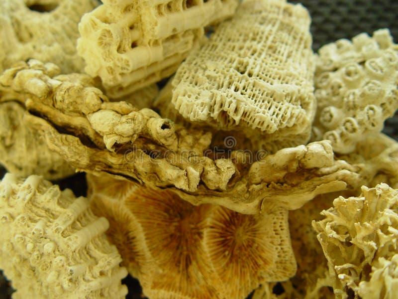coral foto de stock