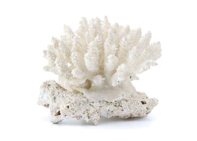 Coral aislado en el fondo blanco fotos de archivo