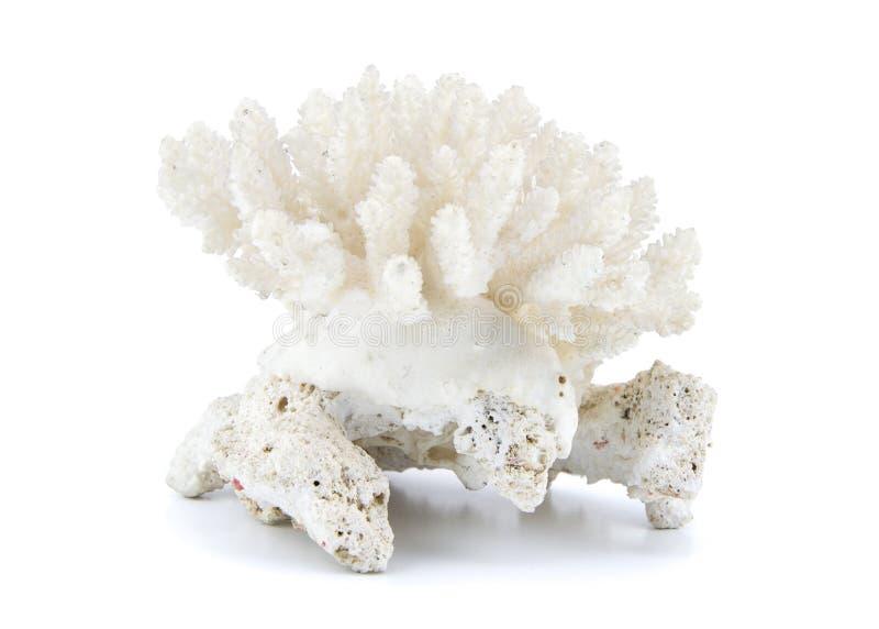 Coral aislado en el fondo blanco foto de archivo libre de regalías