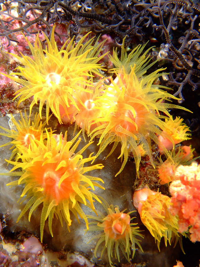 Coral alaranjado do copo fotografia de stock