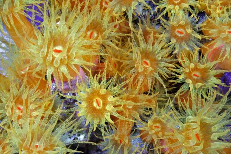 Coral alaranjado do copo (coccinea de Tubastraea) imagens de stock royalty free