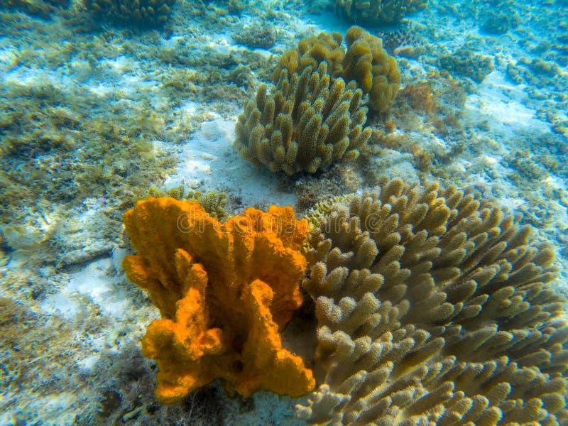 Coral alaranjado no litoral, foto subaquática Animal marinho na costa de mar tropical Formação do recife de corais na areia branc imagem de stock royalty free