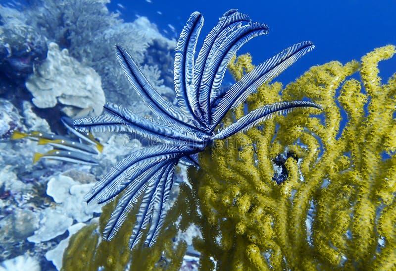 Coral amarelo brilhante do fã de Gorgonian com pena Crinoid na ponta no oceano azul fotos de stock royalty free