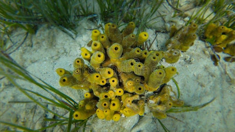 Coral amarillo del tubo rodeado por la hierba del mar foto de archivo libre de regalías