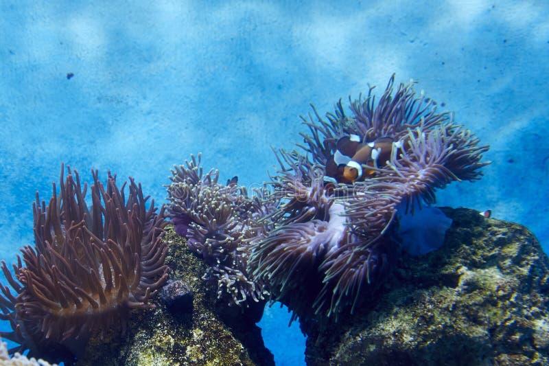 Coral, anémona y Clownfish del ‹del †del ‹del †del mar imagen de archivo libre de regalías