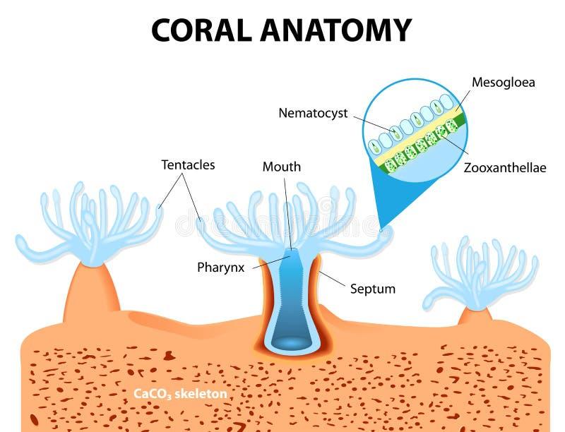 Coral Anatomy. Diagrama del vector libre illustration