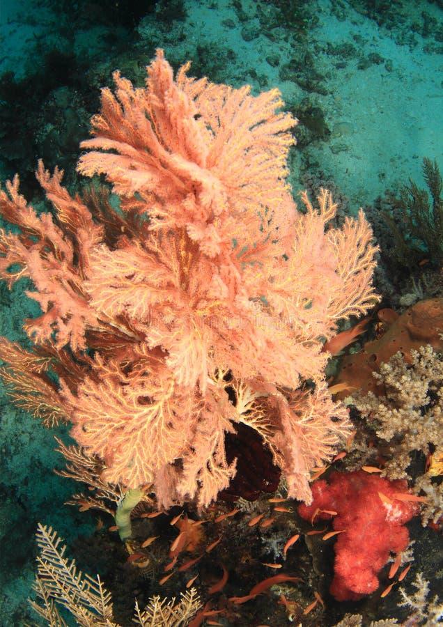 Download Coral atado do fã imagem de stock. Imagem de ventilador - 65576859