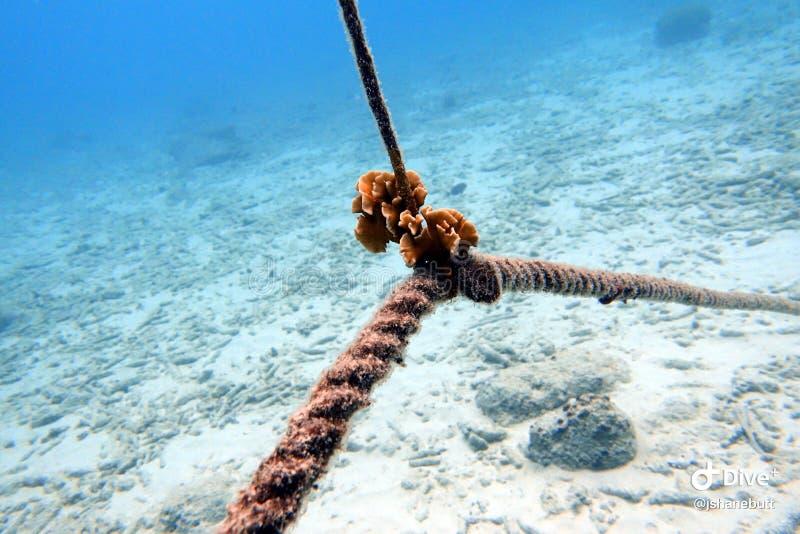 Coral Attached a uma linha da corda fotografia de stock royalty free