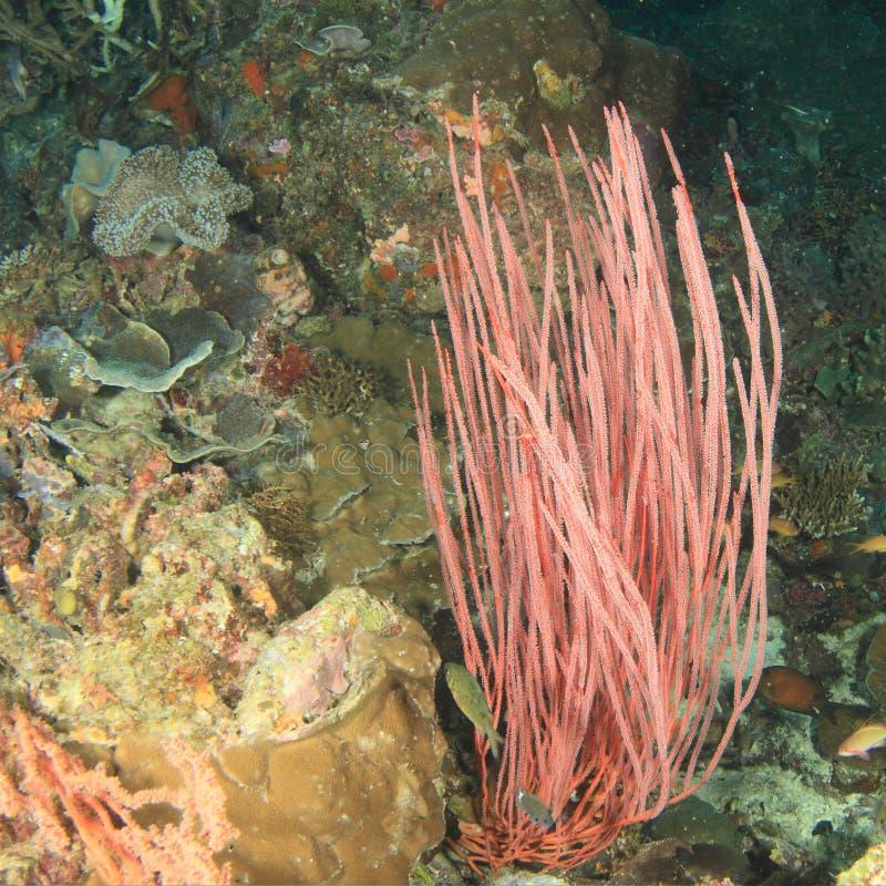Coral - azote anaranjado del mar del estrecho foto de archivo libre de regalías