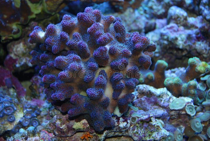 Coral bajo el agua foto de archivo libre de regalías