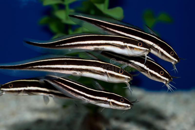Coral catfish School. The Coral Catfish, also known as Striped Eel Catfish, Saltwater Catfish, or Marine Catfish, can be found in schools sifting into the royalty free stock photography