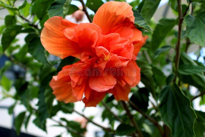 Coral Colored Hibiscus Flower imagens de stock