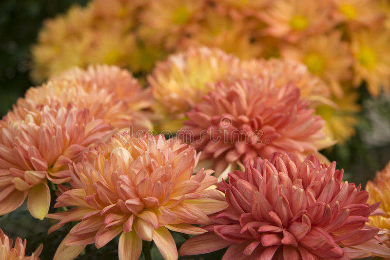 Download Pretty Mums stock image. Image of planting, october, color - 30264219