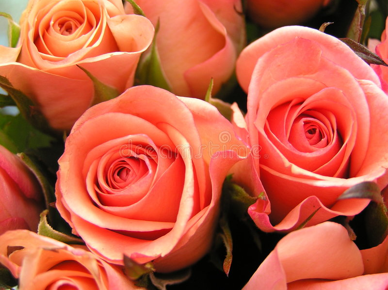 Coral colored roses stock photography