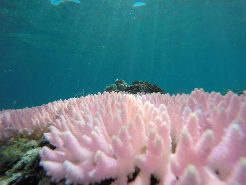 Coral cor-de-rosa fotos de stock royalty free
