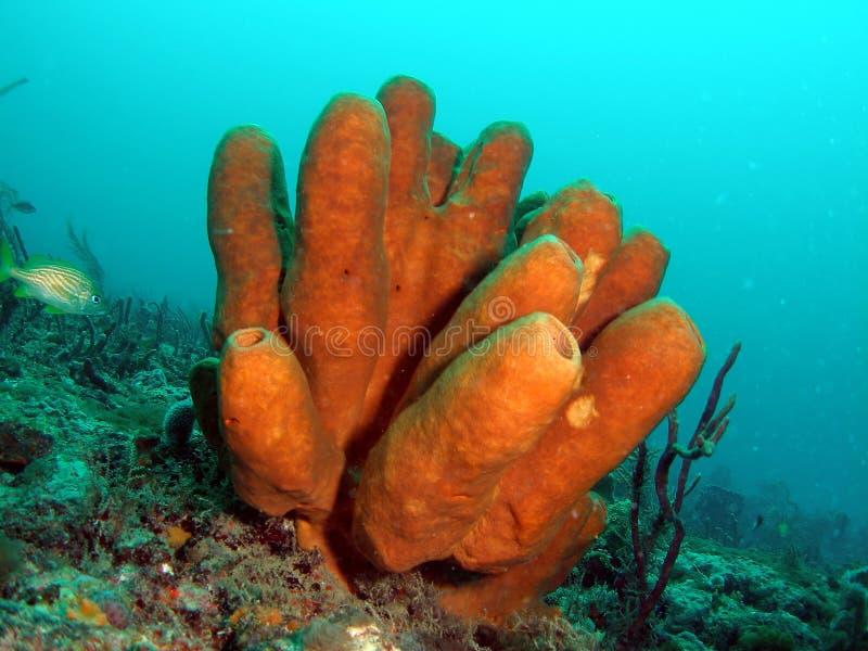 Coral de BrownTube imagens de stock