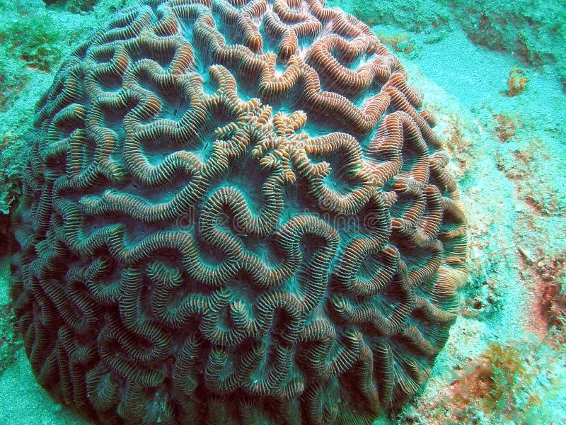 Coral de cérebro imagens de stock royalty free