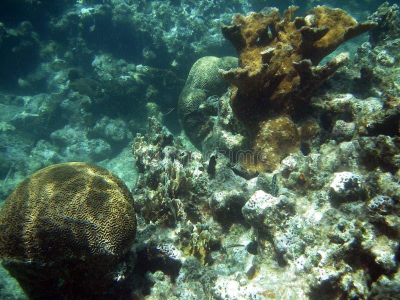 Coral de cérebro no recife de barreira imagens de stock royalty free