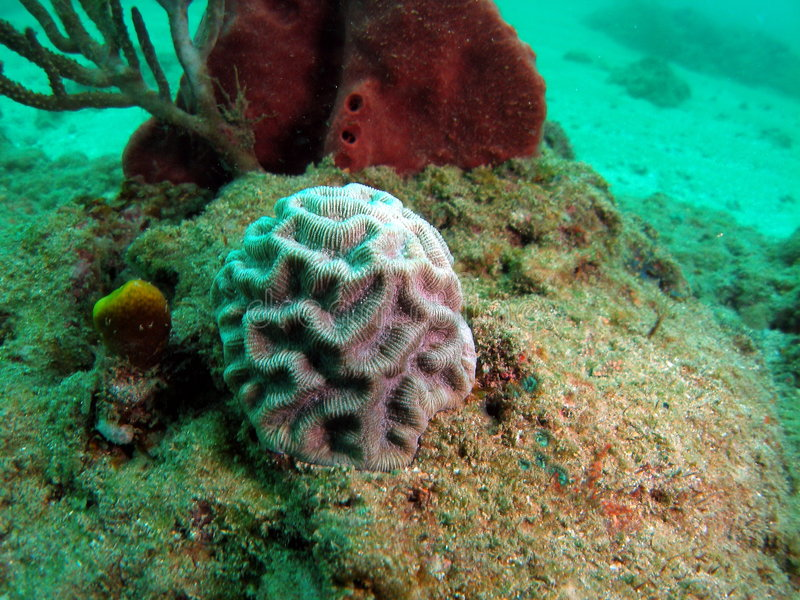 Coral de cérebro pequeno fotografia de stock royalty free