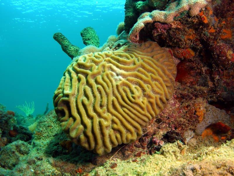 Coral de cerebro imagenes de archivo