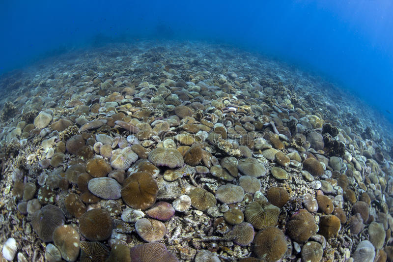 Coral de cogumelo fotografia de stock royalty free