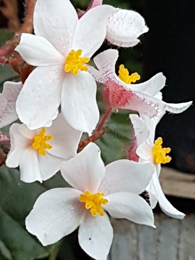 Coral de la flor blanca en el jardín 1 imagen de archivo