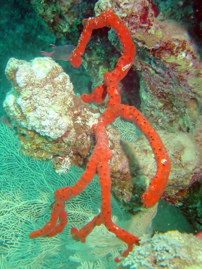 Coral de ramificación foto de archivo