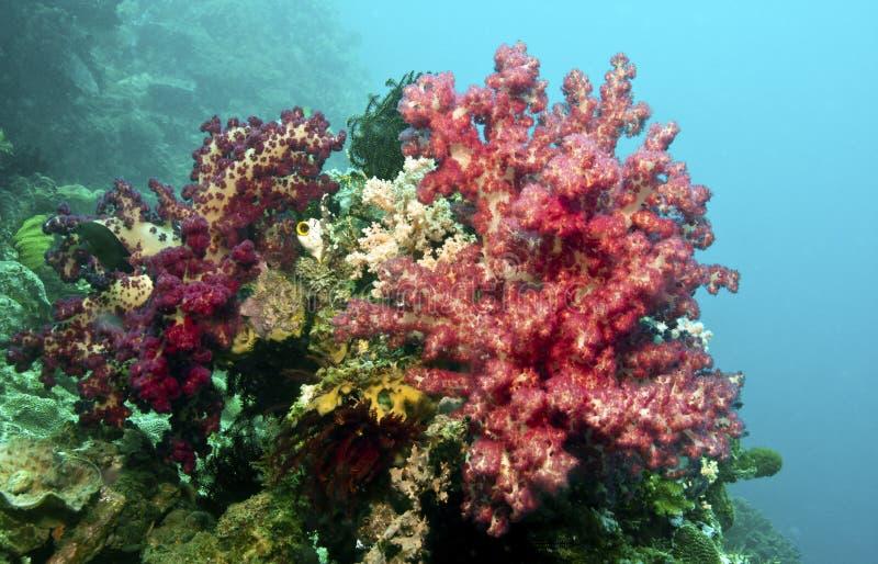Coral del árbol de la flor - Umbellulifera anaranjado rojo imagenes de archivo