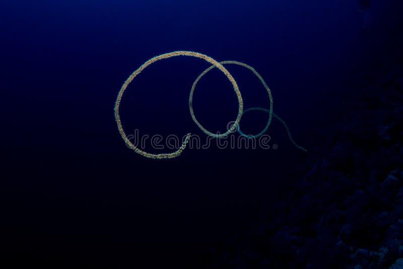 Coral del azote en el Mar Rojo fotografía de archivo libre de regalías