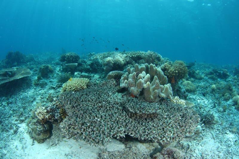 Coral del blanqueo fotografía de archivo