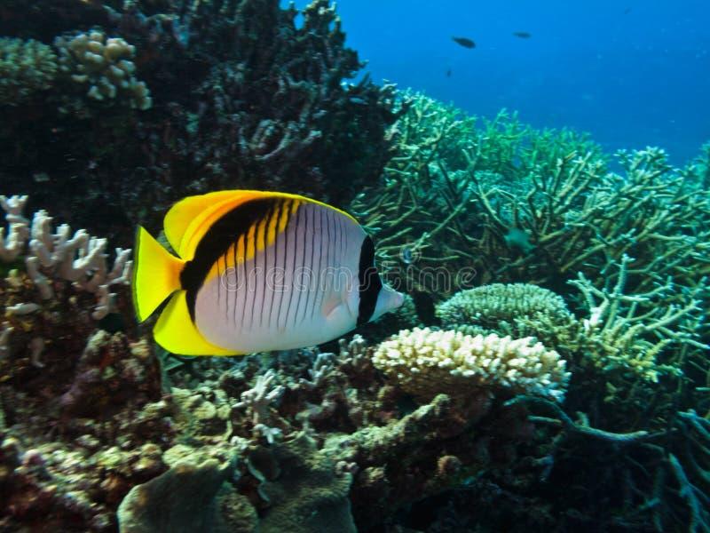 Coral del butterflyfish del Threadfin (auriga de Chaetodon) fotografía de archivo libre de regalías