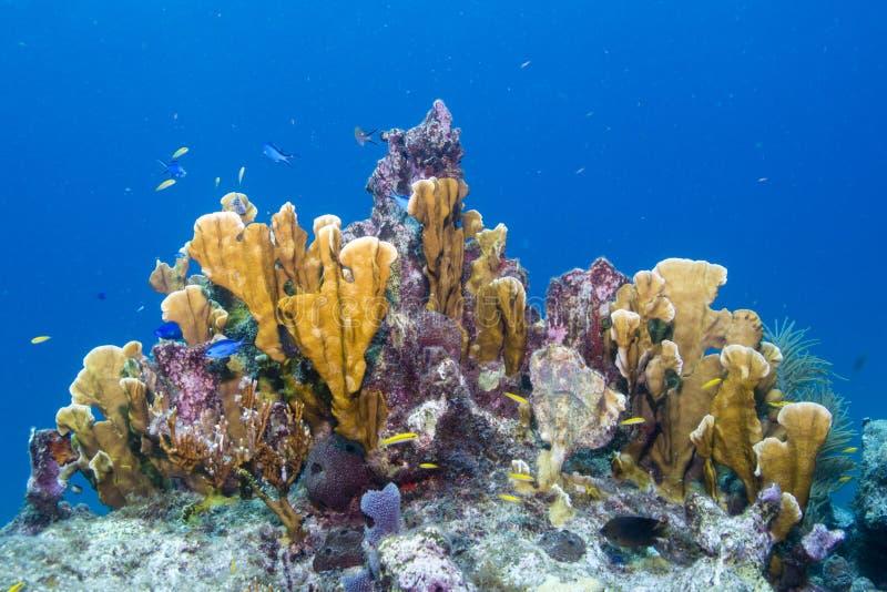 Coral del fuego de la cuchilla foto de archivo libre de regalías