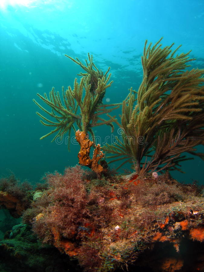 Coral del fuego en un filón coralino foto de archivo libre de regalías