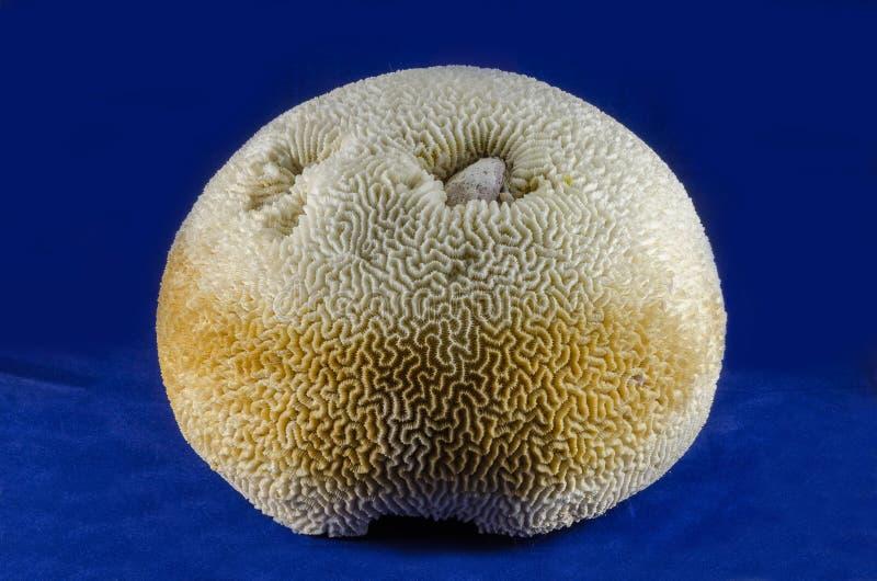 Coral del mar fotografía de archivo libre de regalías